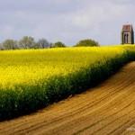 'Sur les pas de Van Gogh' - Champ de colza et clocher à Auvers (c) Martinelli - Le Musée Daubigny - Auvers-sur-Oise