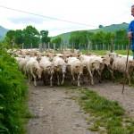 Ossau-Iraty - Un troupeau de brebis Manech Tête rousse