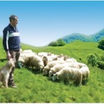Un berger et son troupeau de brebis basco-béarnaises à Aspes (Béarn) (@Syndicat AOP Ossau-Iraty)