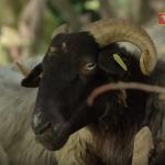 Des brebis Manech tête noire - Ossau-Iraty