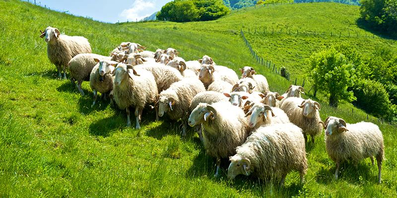 Route du fromage AOP Ossau-Iraty : Des brebis basco-béarnaises (cliquez sur l'image pour obtenir la HD – Crédit : AOP Ossau-Iraty)